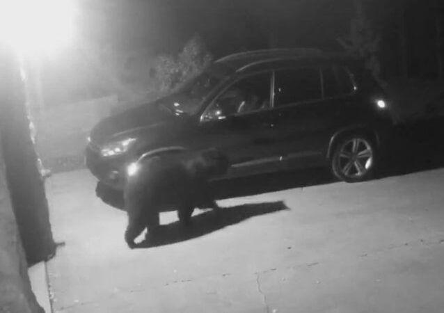 Urso entra em carro, mas lembra que não sabe dirigir