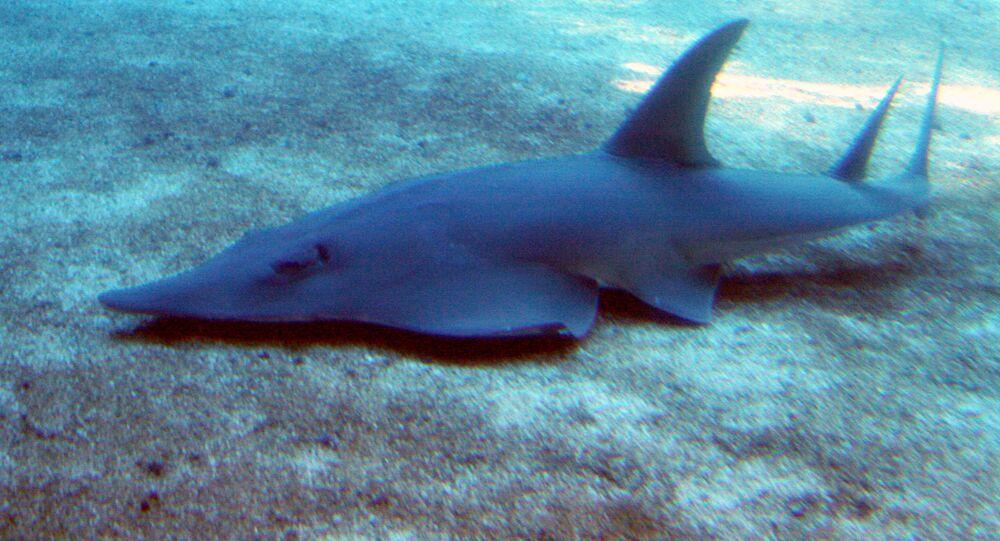 Raia Rhynchobatus (imagem referencial)