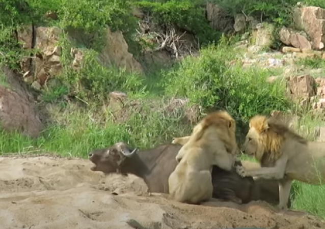 Leões cercam búfalo