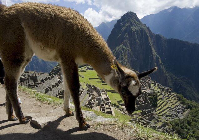 Uma lhama em Machu Picchu (foto de arquivo)