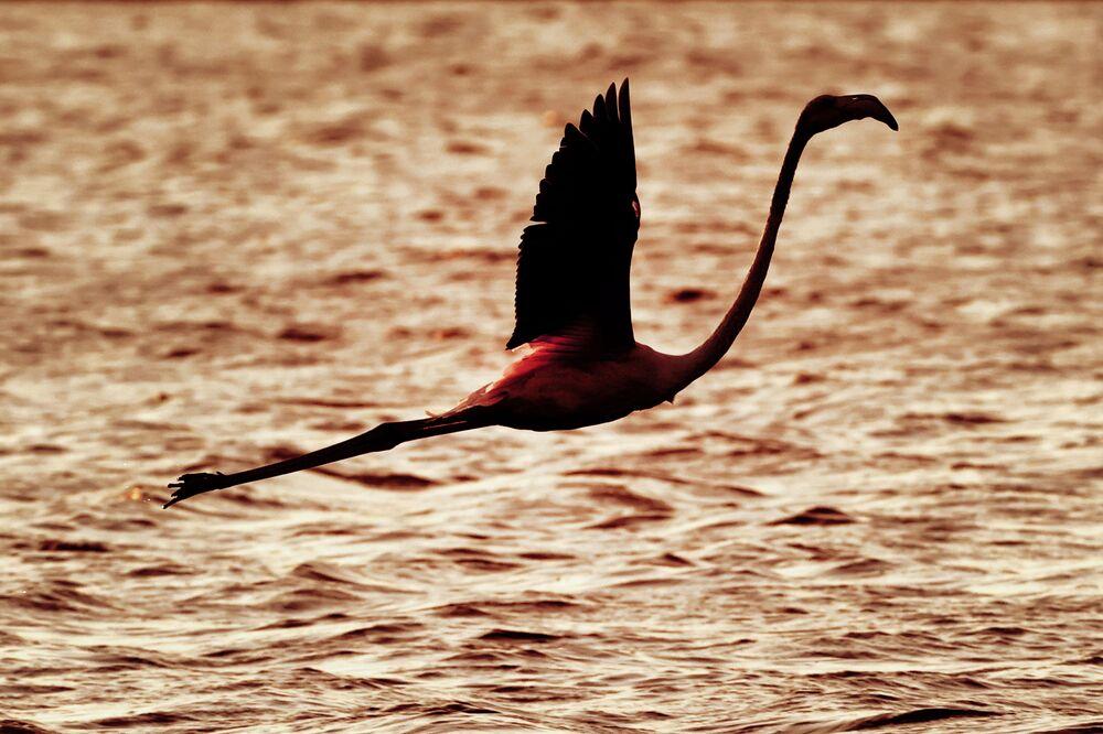 Flamingo sobrevoa um reservatório em Atlit, no norte de Tel Aviv