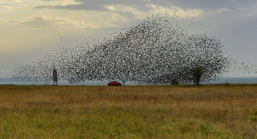 Bando de pássaros sobrevoa campo na Crimeia