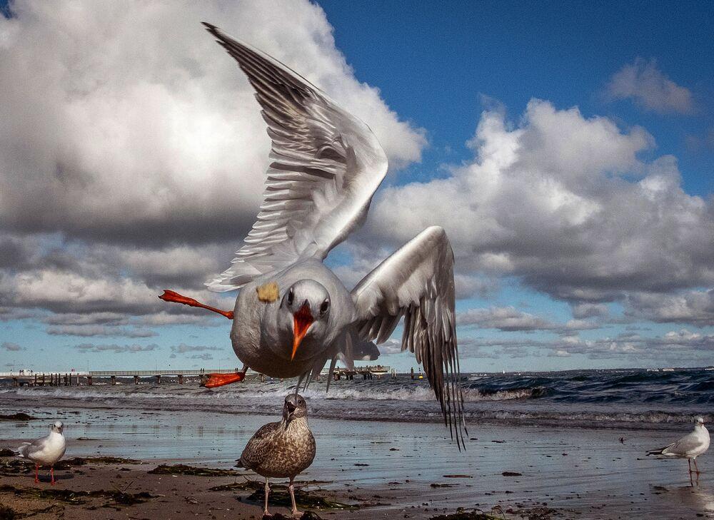 Gaivota tenta pegar um pedaço de pão em praia na Alemanha