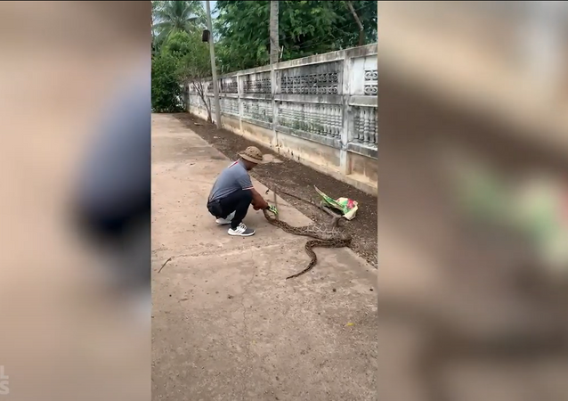 Píton gulosa devora ganso e fica com barriga entalada em uma cerca na Tailândia