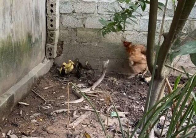 Instinto materno salva pintinhos de ataque de cobras