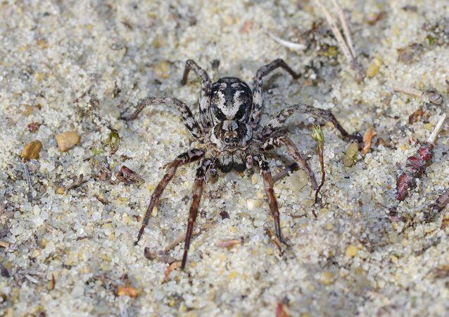 Aranha-raposa (alopecosa fabrilis)