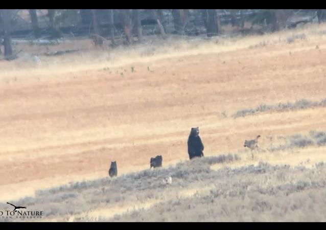 Urso negro e lobos