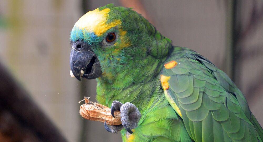 Papagaio (imagem referencial)