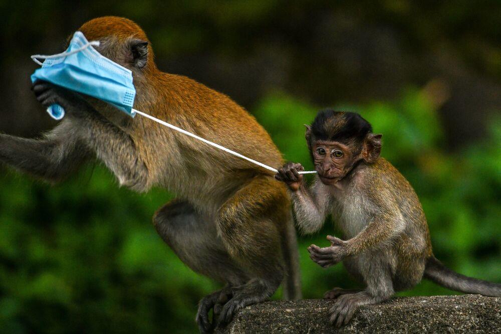 Macacos brincam com uma máscara, usada na prevenção da COVID-19, deixada por um transeunte em Genting Sempah, na Malásia
