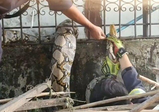 Píton 'gulosa' de 3 metros fica presa após engolir gato