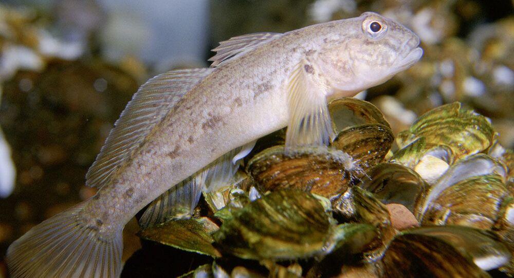 Espécie de peixe Neogobius melanostomus