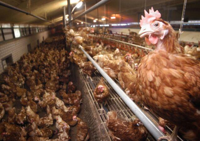 Fazenda de galinhas em Baexem, no sul da Holanda