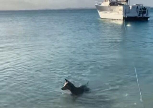 Corajoso cachorro encara tubarão para proteger seu dono
