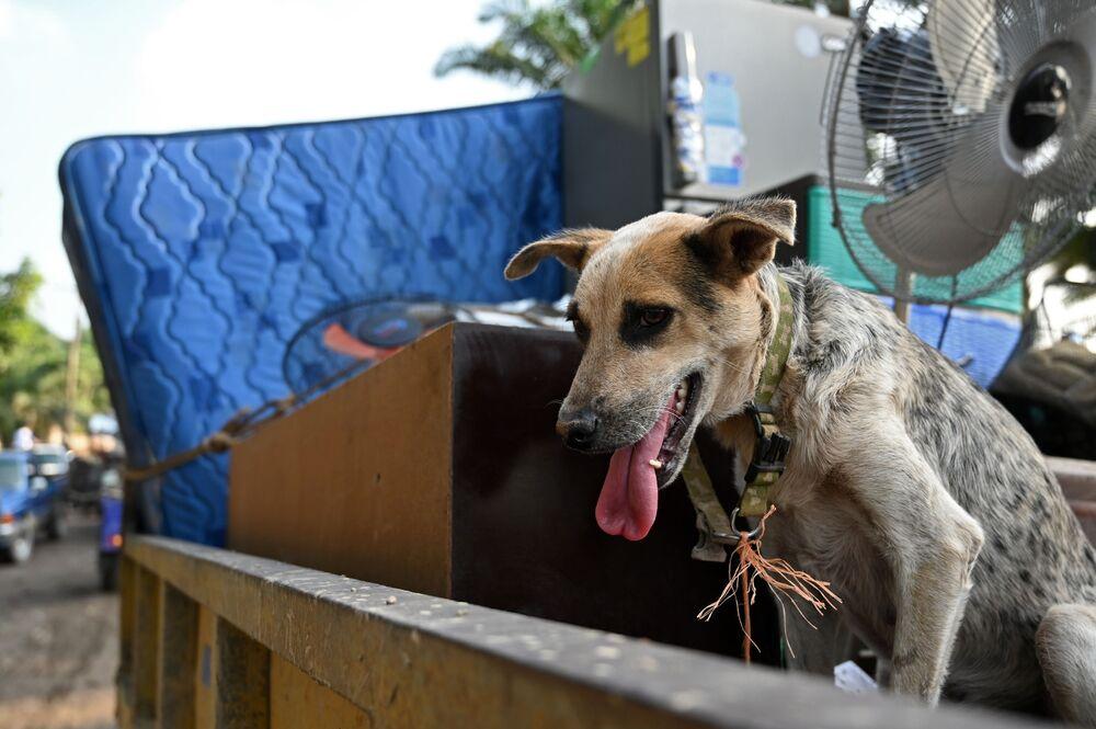 Cachorro em caminhão entre pertences de trabalhadores, evacuados da região de El Progreso, Honduras.