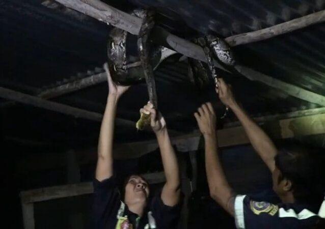 Píton intrusa de 4 metros é encontrada em telhado de galinheiro