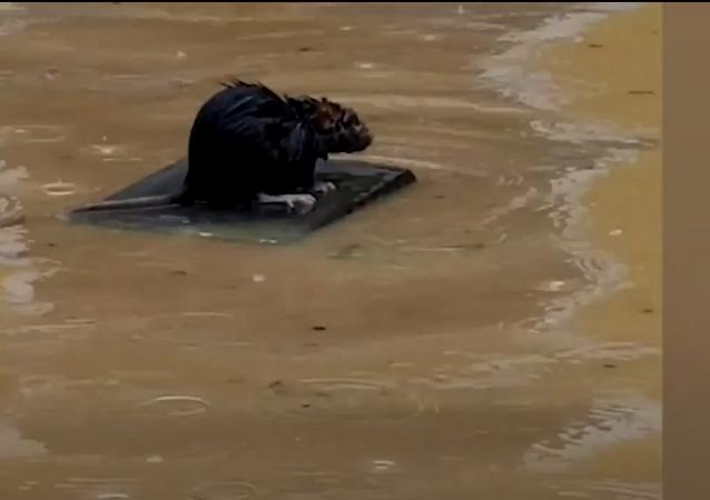 Rato navegador surfa à liberdade em uma balsa pelas ruas alagadas nas Filipinas