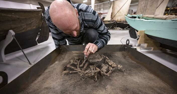Osteologista limpa areia do esqueleto do cachorro da Idade da Pedra no museu Blekinge, Suécia