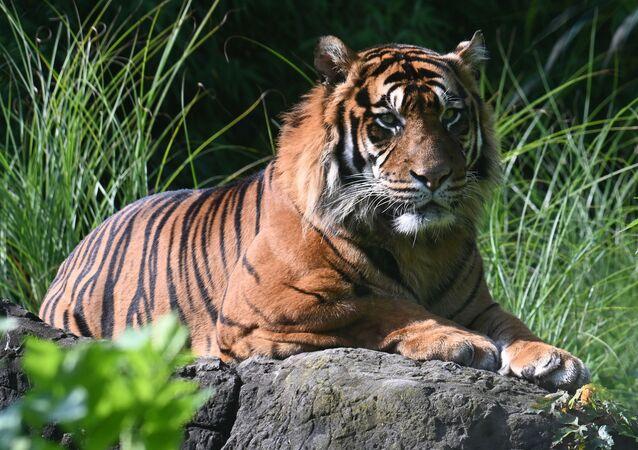 Tigre-de-bengala (imagem ilustrativa)