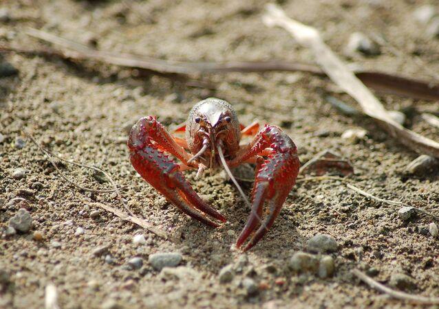 Lagostim-vermelho (imagem referencial)