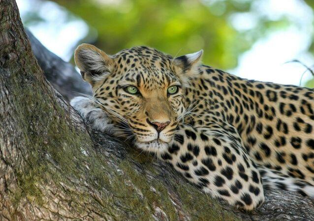 Leopardo em tronco de árvore