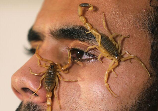 Mohamed Hamdy Boshta mostra escorpiões que ele caçou nos desertos e na costa egípcia para extrair seu valorizado veneno para uso medicinal
