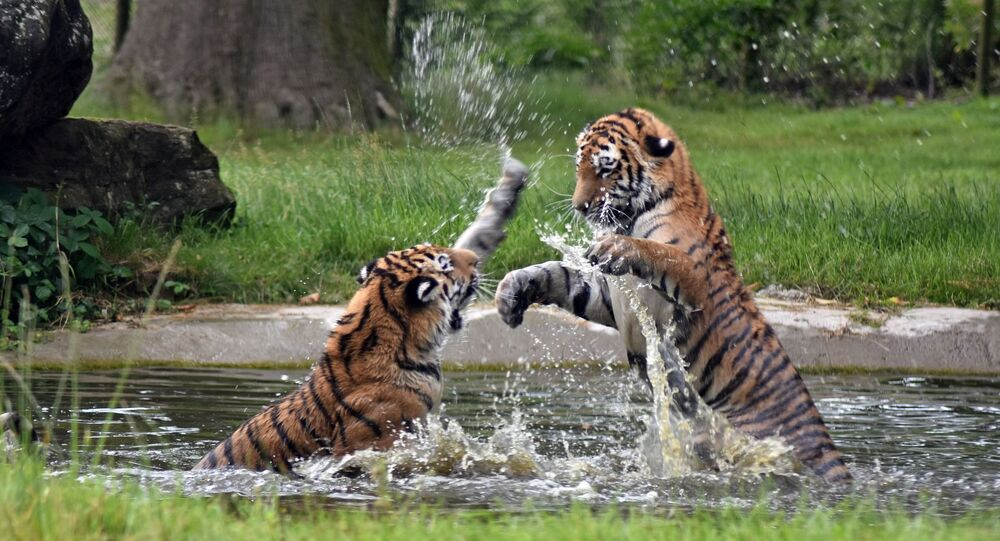 Combate entre tigres