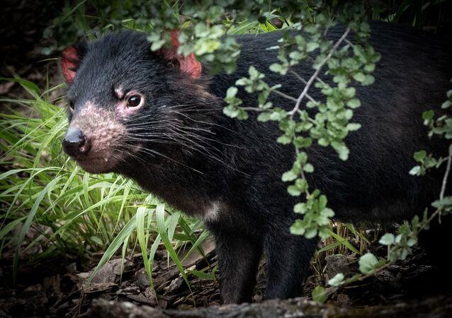 Diabo-da-Tasmânia (imagem referencial)