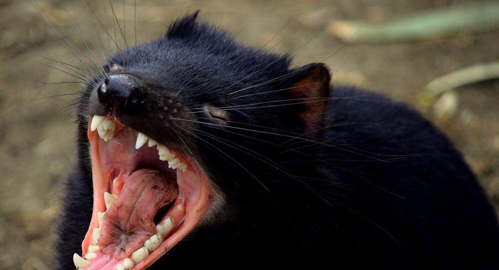 Diabo-da-Tasmânia mostrando seus dentes (imagem referencial)