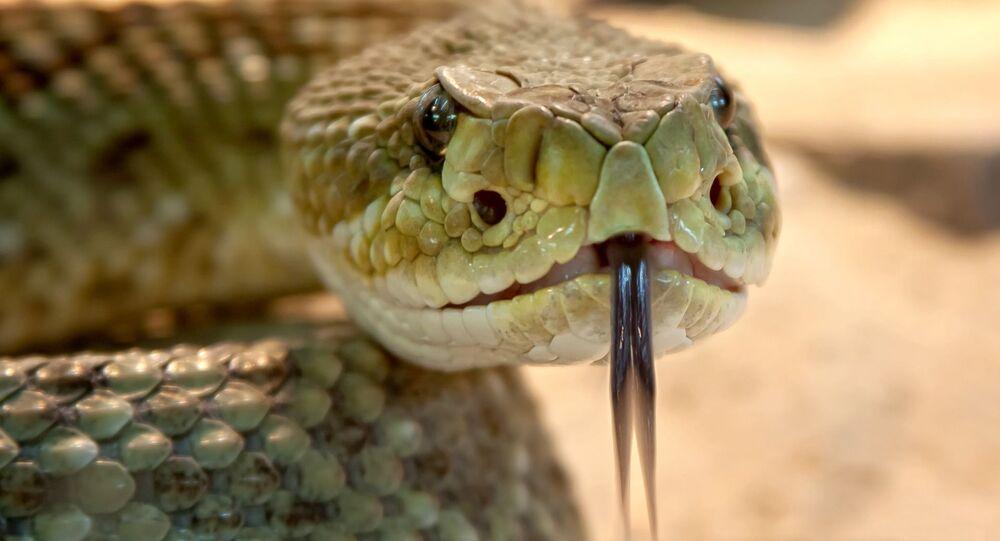 Cobra irritada