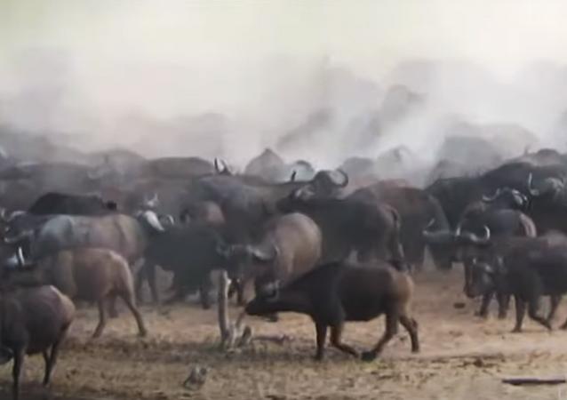 Numeroso rebanho de búfalos atropela leão e joga felino pelos ares