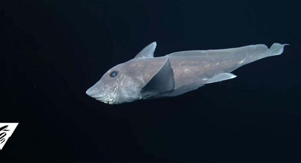 Tubarão-fantasma, também chamado de Quimera (foto referencial)