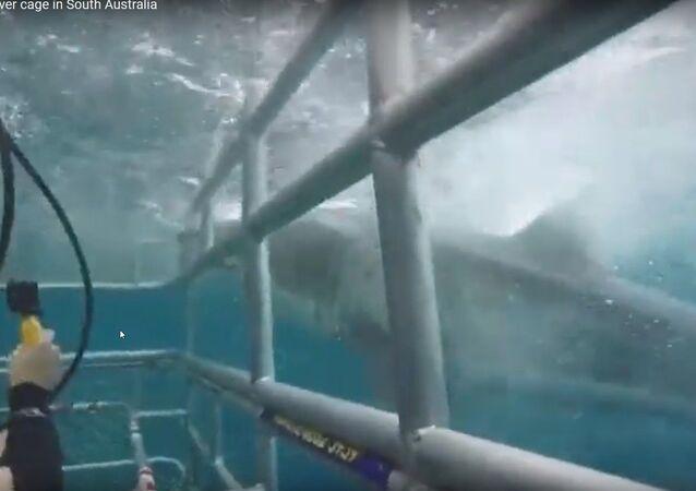 Tubarão branco esbarra com toda a força contra gaiola com mergulhadores na Austrália