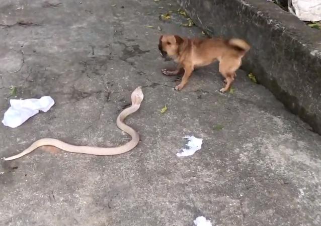 Cachorro e serpente