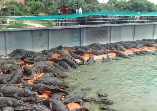 Alimentando crocodilos