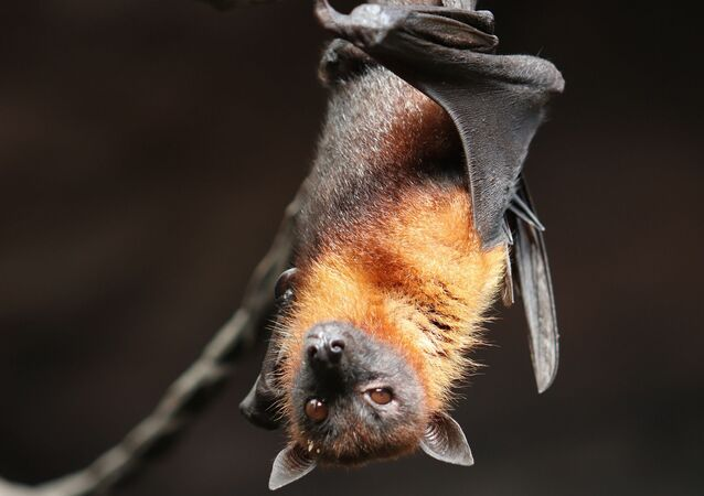 Morcego (imagem referencial)