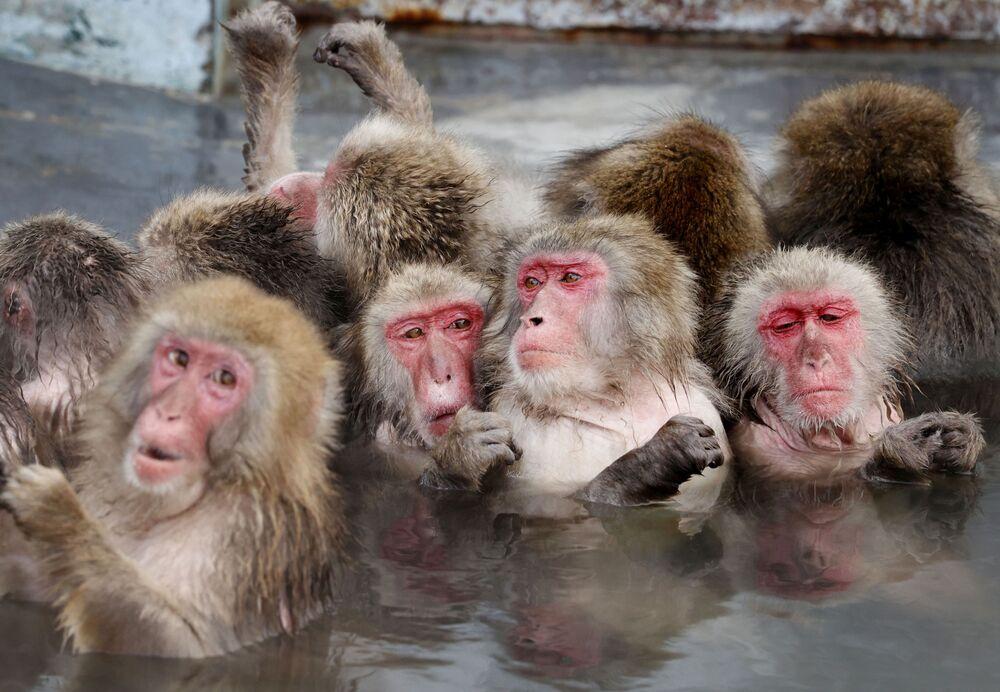Macacos japoneses se banham em fonte termal quente no Jardim Botânico Tropical de Hakodate, Japão, 12 de janeiro de 2021
