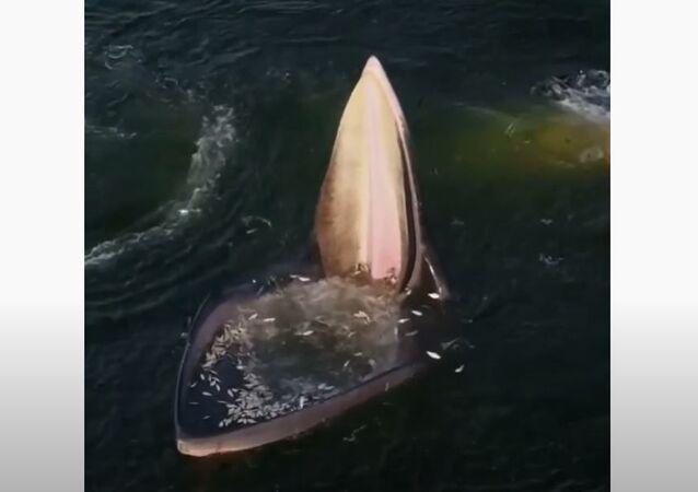 Baleia comendo peixes
