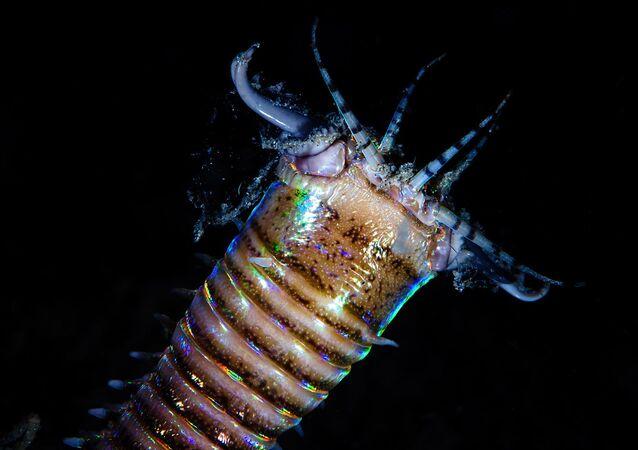 Verme marinho bobbit (imagem referencial)