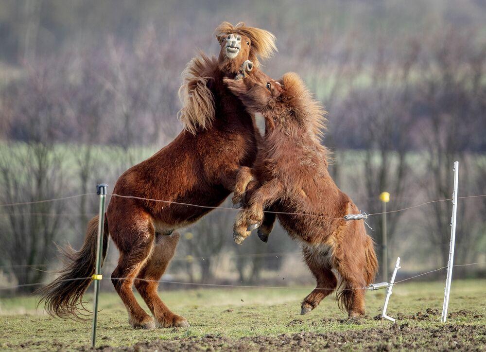 Cavalo islandês, à esquerda, e pônei Shetland brincam em coudelaria, Alemanha, 18 de janeiro de 2021
