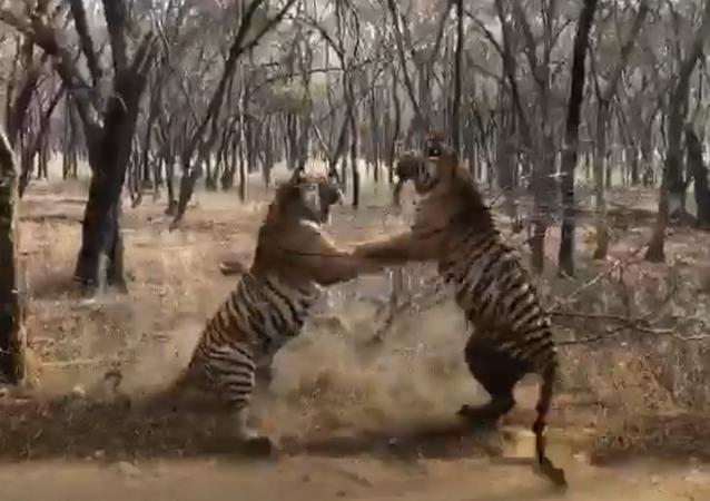 Tigres brigões