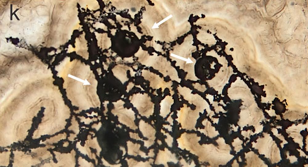 O fóssil preservado possui várias ordens de ramos, filamentos curvos e sistemas de ramificação em forma de escada