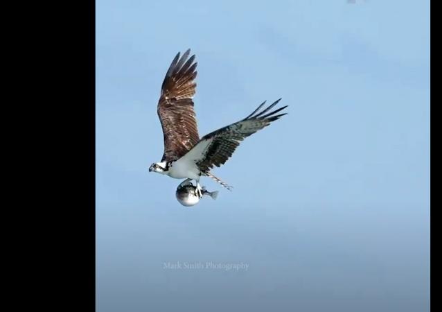 Águia com peixe-balão