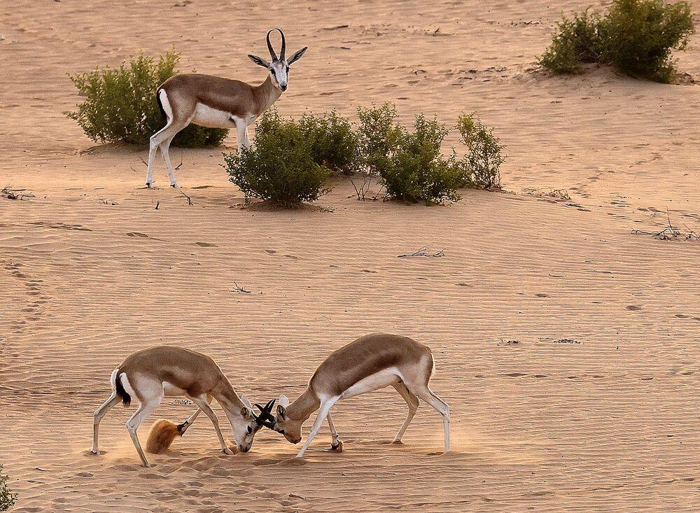 Gazelas no deserto em Abu Dhabi, Emirados Árabes Unidos, em 26 de janeiro de 2021.