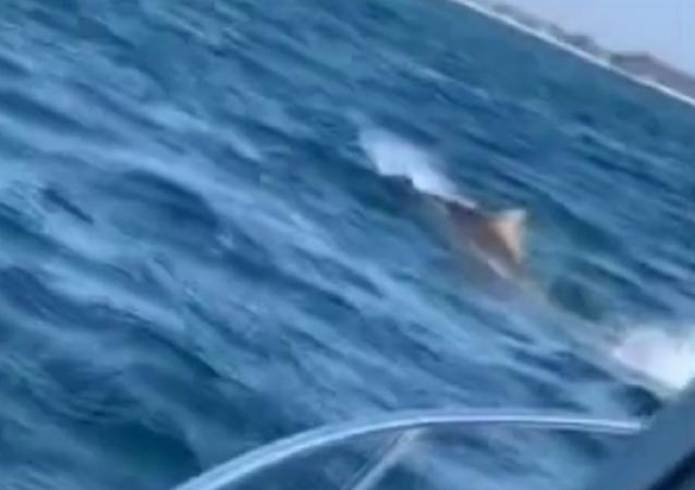 Grande tubarão
