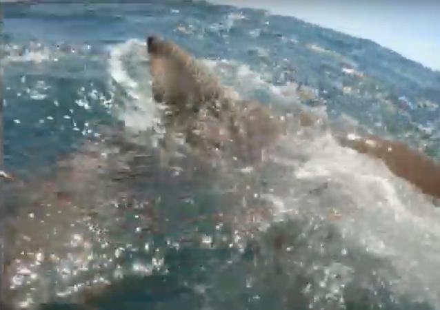 Tubarão descontrolado