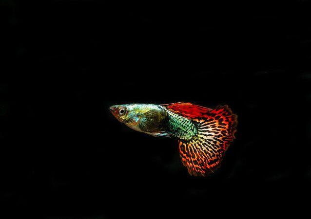 Peixe guppy