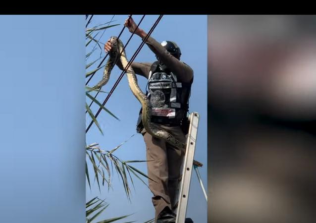 Policial resgata píton presa em cabos de alta tensão na Tailândia