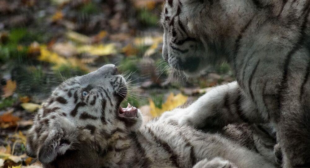 Filhotes de tigre branco brincando