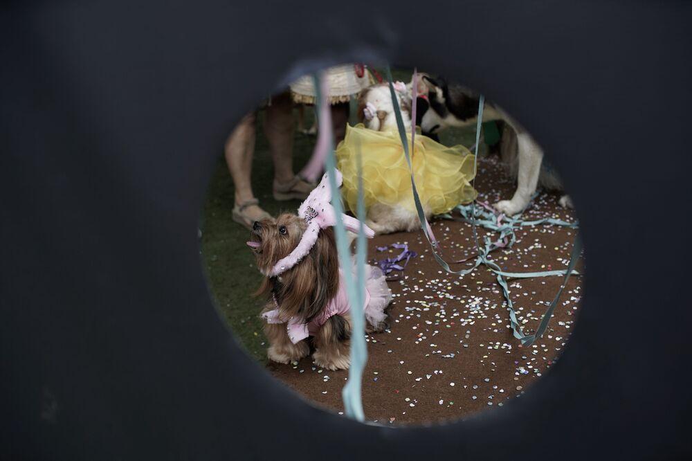 Cachorro durante o desfile de cachorros anual do Carnaval no Rio de Janeiro, Brasil, 13 de fevereiro de 2021. Festas do Carnaval no Rio foram canceladas, mas muitos donos de animais de estimação se reuniram com seus cachorros para competir pela melhor fantasia, Rio de Janeiro, Brasil, 13 de fevereiro de 2021