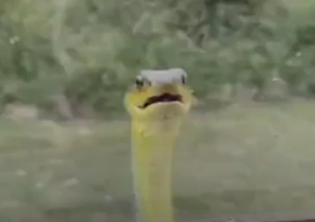 Cobra curiosa
